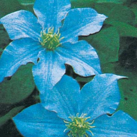 Clematis, Blue