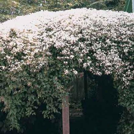 Clematis, Paniculata
