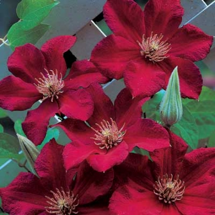 Clematis, Red