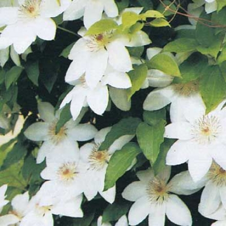 Clematis, White