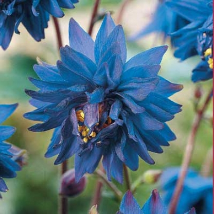 Columbine, Blue Barlow