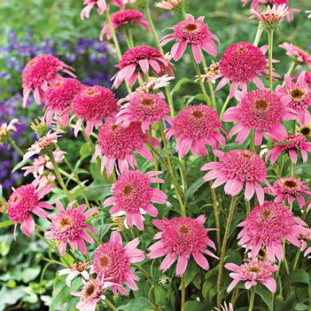 Coneflower, Double Delight