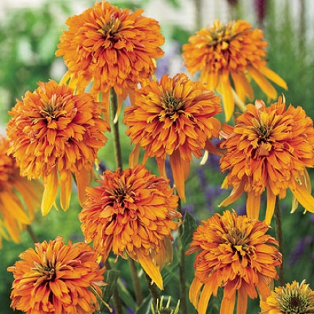 Coneflower, Double Marmalade