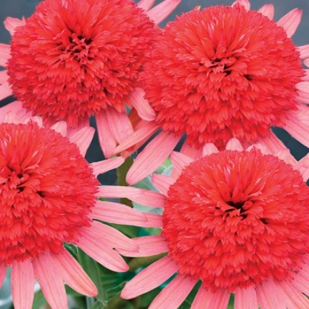 Coneflower, Double Secret Passion