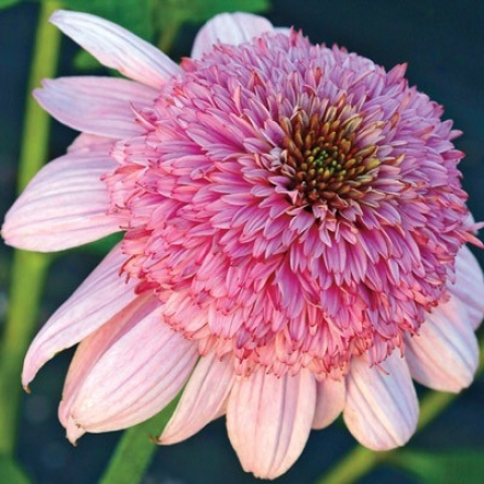 Coneflower, Double Secret Romance