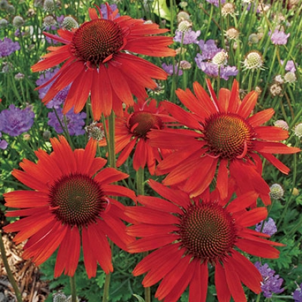 Coneflower, Hot Lava