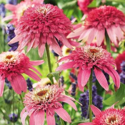 Coneflower, Pink Double Delight