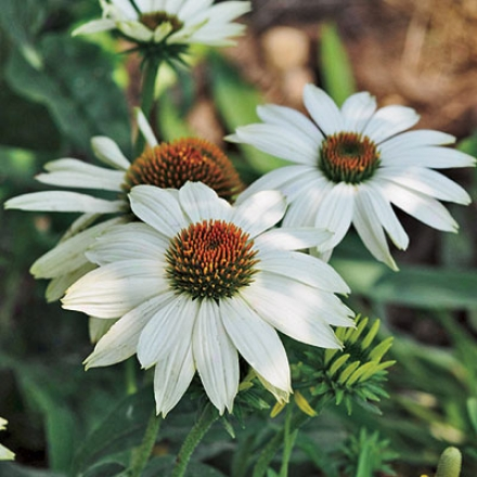 Coneflower, Powwow White