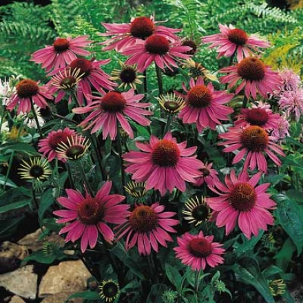Coneflower, Purple