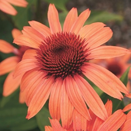 Coneflower, Sundown™