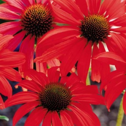 Coneflower, Tomato Soup