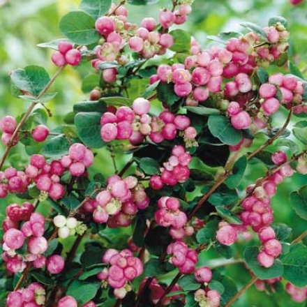 Coralberry, Indian Currant
