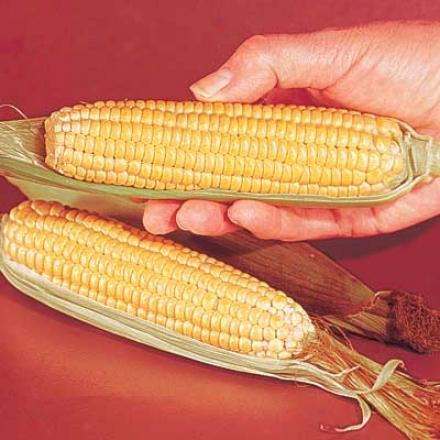 Corn, Early Sunglow
