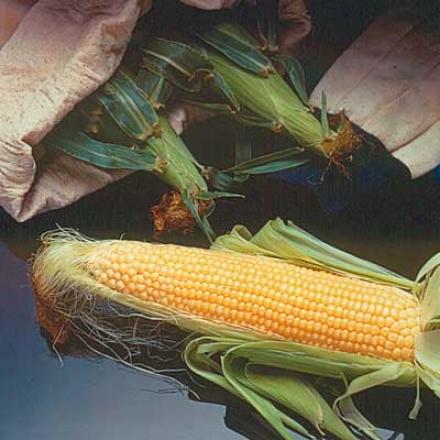 Corn, Incredible