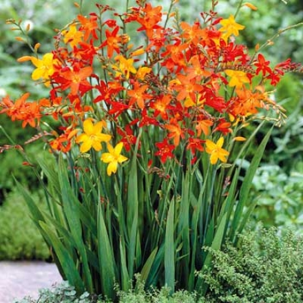 Crocosmia, Mixed