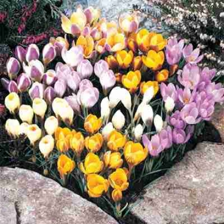 Crocus, Mixed