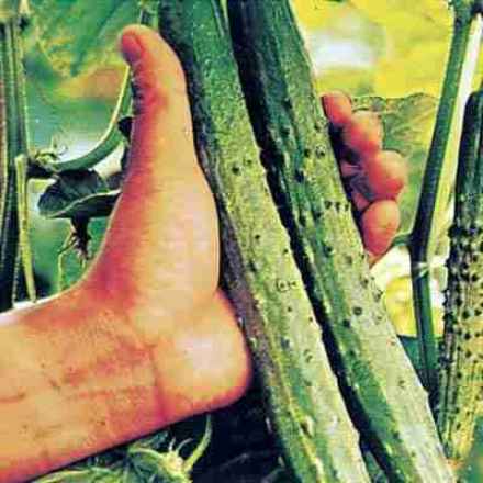 Cucumber, China Hybrid