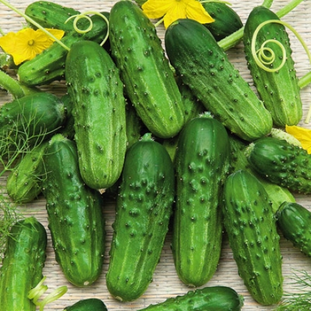 Cucumber, Pioneer Hybrid
