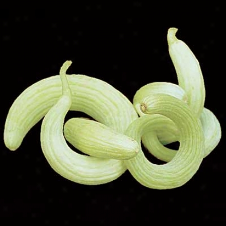 Cucumber, Serpent