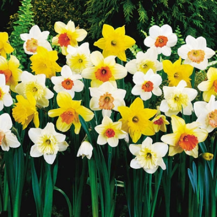 Daffodil, Extra Large Assortment