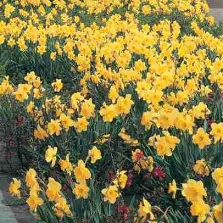 Daffodil, King Alfred