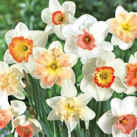Daffodil, Pihk Mix