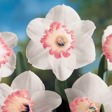 Daffodil, Spring Pride
