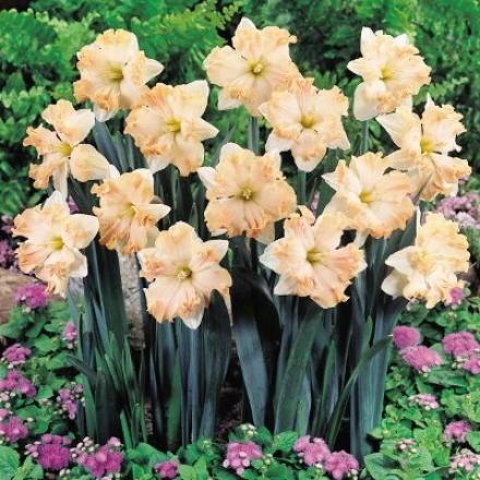 Daffodil, Waltz