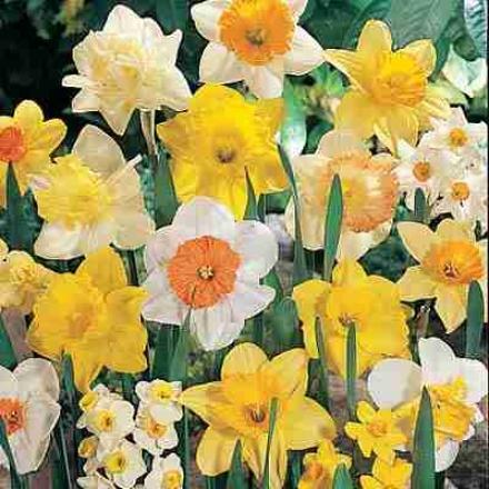 Daffodils 1/4 Bushel