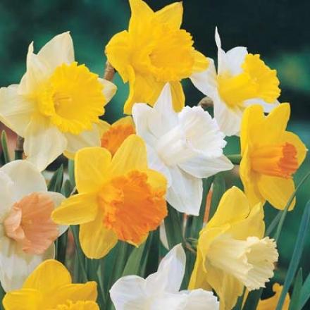 Daffodils, Big Celebrator