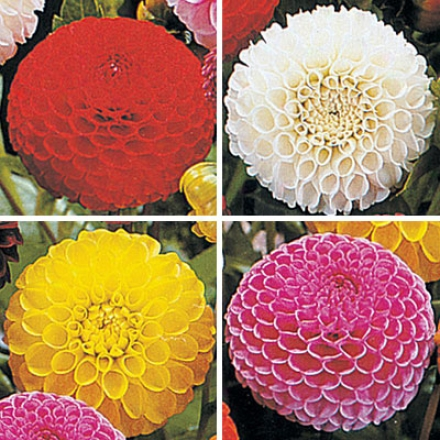 Dahlia Collection, Ball