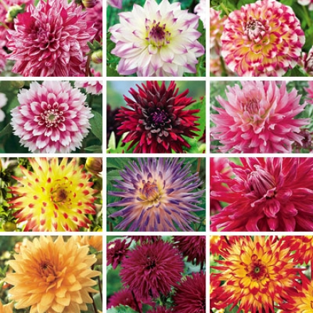 Dahlia Collection, Heaven
