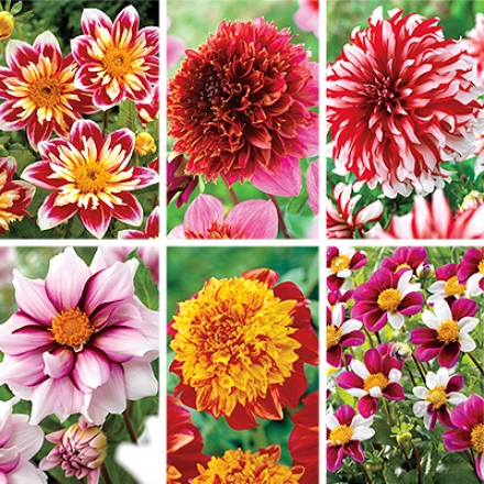 Dahlia Collection, Over The Top