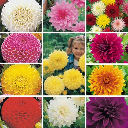Dahlia Collectio,n Three Dozen