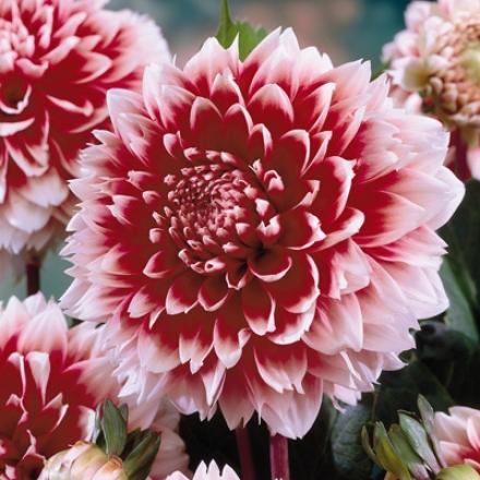 Dahliaa, Red & White Fubuki