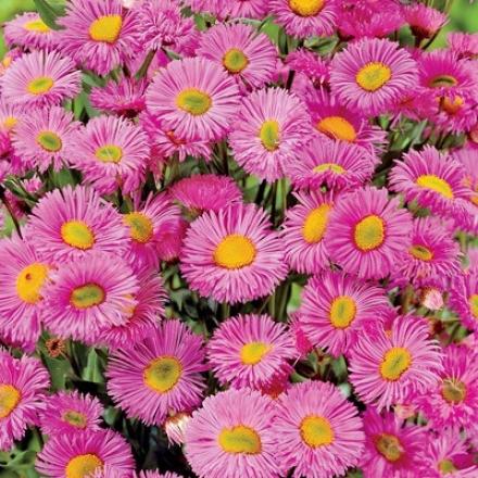 Daisy, Aspen Pink Jewel
