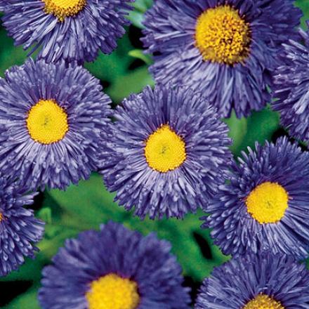 Daisy, Blue Fringed