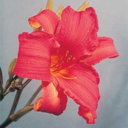 Daylily, American Indian