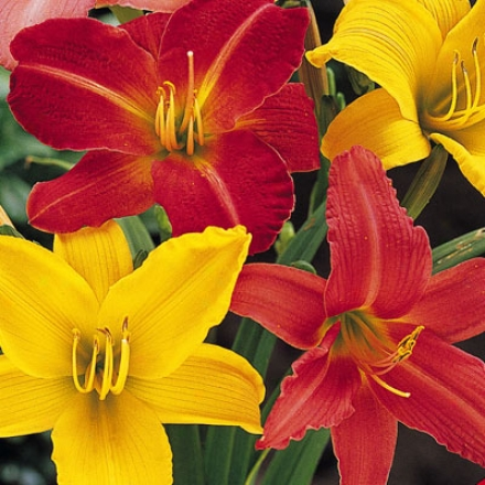Daylily, Bed Bargain