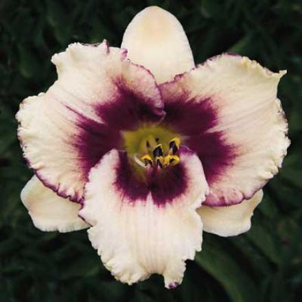 Daylily, Blueberry Sundae