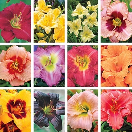 Daylily Cllection, Cheaper By The Dozen