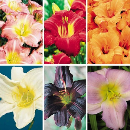Daylily Collectipn, Colorful Reblooming