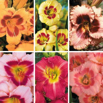 Daylily Collection, Designer Reblooming
