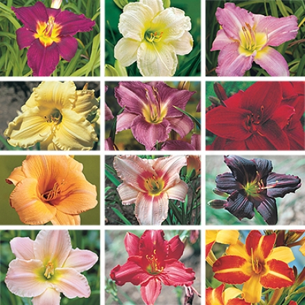 Daylily Collection, Rainbow