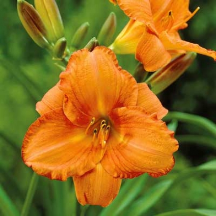 Daylily, Orange