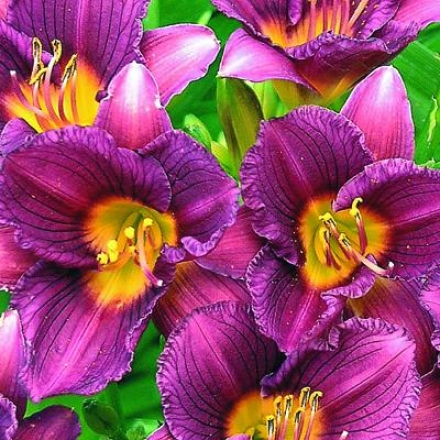 daylily purple d 39 oro gardening catalog the home. Black Bedroom Furniture Sets. Home Design Ideas