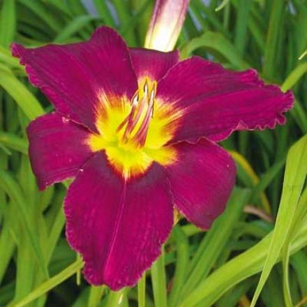Daylily, Purple