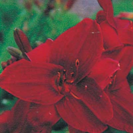 Daylily, Royal Red