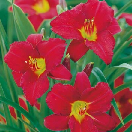 Daylily, Ruby Stella Everblooming