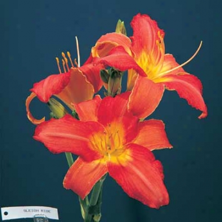 Daylily, Sleigh Ride